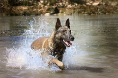 Malinois in the river. Picture of a purebred belgian sheepdog malinois in the river Royalty Free Stock Photo