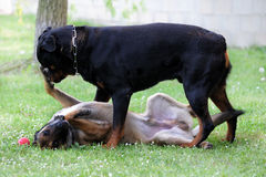 Malinois and rottweiler. Picture of a purebred belgian sheepdog malinois and rottweiler playing Royalty Free Stock Photos
