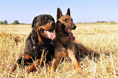 Malinois and rottweiler Royalty Free Stock Images