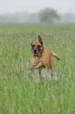 Malinois running through the grass. Malinois running through the wet grass Stock Photos