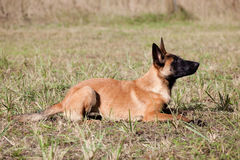 Malinois`s pyppy. Young Belgian shepherd laying on the grass Royalty Free Stock Images
