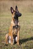 Malinois`s pyppy. Young Belgian shepherd sitting on the grass Royalty Free Stock Image
