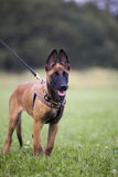 Malinois`s pyppy. Young Belgian shepherd on the grass Royalty Free Stock Image