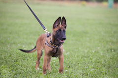 Malinois`s pyppy. Young Belgian shepherd on the grass Stock Image