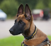 Malinois`s pyppy. Young Belgian shepherd sitting on the grass Royalty Free Stock Images