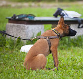 Malinois`s pyppy. Young Belgian shepherd sitting on the grass Stock Images