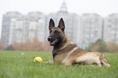 Belgian Malinois. Malinois shape symmetry, smooth, square, its head and neck posture is very elegant; it is agile, muscular, sensitive and energetic; limbs when Stock Image
