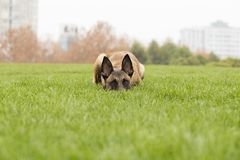 Belgian Malinois. Malinois shape symmetry, smooth, square, its head and neck posture is very elegant; it is agile, muscular, sensitive and energetic; limbs when Royalty Free Stock Image