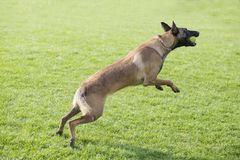 Belgian Malinois. Malinois shape symmetry, smooth, square, its head and neck posture is very elegant; it is agile, muscular, sensitive and energetic; limbs when Stock Photography
