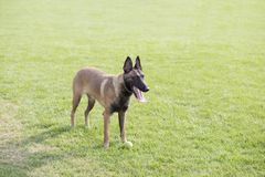 Belgian Malinois. Malinois shape symmetry, smooth, square, its head and neck posture is very elegant; it is agile, muscular, sensitive and energetic; limbs when Royalty Free Stock Images