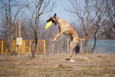 Malinois Shepherd catching disc in jump. Happy Malinois Shepherdshepherd catching disc in jump Royalty Free Stock Photos