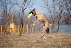 Malinois Shepherd catching disc in jump Royalty Free Stock Photos