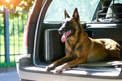 The malinois shepherd dog is protecting the car. The owner of that car doesn`t need an alarm Stock Image