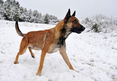 Malinois in the snow. Alertness purebred belgian shepherd malinois in the snow Royalty Free Stock Photography