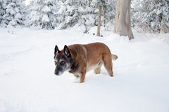 A Malinois in winter. A pretty Belgian shepherd standing in the snow Royalty Free Stock Images