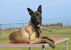 Malinois. Young malinois lying down on a table in a garden Stock Images