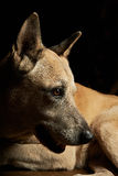 Malinoise shepherd portrait. From side isolated on black Royalty Free Stock Photography