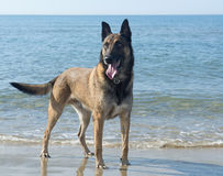 Malinoison the beach. Picture of a purebred belgian sheepdog malinois on the beach Royalty Free Stock Photos