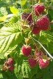 Malinowa czerwień w ogródzie zdjęcie royalty free