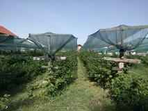 Malinowa plantaci sieć ochraniająca Zdjęcia Royalty Free