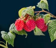 Malinowego krzaka roślina dojrzałe gałęziaste malinki obrazy royalty free