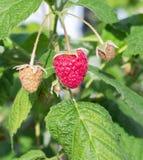 Malinowego krzaka roślina dojrzałe gałęziaste malinki zdjęcia royalty free