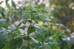 Malinowy krzak w deszczu Obraz Royalty Free