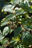 Malinowy krzak z zielonymi jagodami i liśćmi Zdjęcia Royalty Free