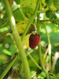 Malinowy owocowy obwieszenie na gałąź dojrzałe owoce Zdjęcia Stock