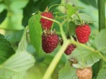 Malinowy owocowy obwieszenie na gałąź dojrzałe owoce Obrazy Royalty Free