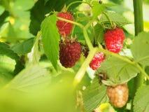 Malinowy owocowy obwieszenie na gałąź dojrzałe owoce Obrazy Stock