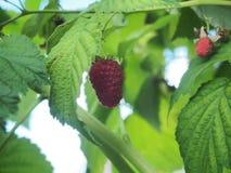 Malinowy owocowy obwieszenie na gałąź dojrzałe owoce Obraz Royalty Free
