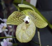 Malipo Paphiopedilum Slipper Orchid. Paphiopedilum malipoense Royalty Free Stock Images