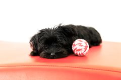 Malkie puppy dog. Black Yorktese - Malkie puppy dog resting on the sofa, Isolated on white background with copy space. Breed from Maltese and Yorkshire Terrier Stock Image