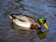 Mallaed 1. Mallard Duck swimming in pond Stock Photos