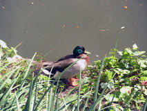 Mallar duck next to river. This a mallar duck that we saw next to the river walk at San Antonio Texas Royalty Free Stock Photography