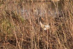 Mallard émergeant de sa cachette dans un bas soleil hivernal Photo libre de droits