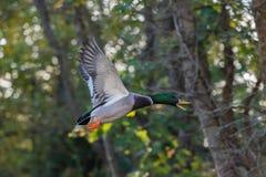 mallard полета утки Стоковое Изображение