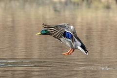 mallard полета утки Стоковое Изображение RF
