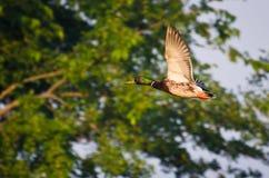 mallard полета утки Стоковая Фотография RF