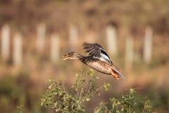 mallard полета утки женский Летать принимает  Стоковые Изображения
