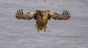 mallard полета утки женский Стоковое фото RF