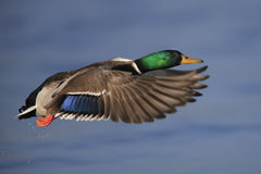 mallard полета утки Стоковые Изображения