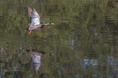 mallard полета утки Стоковые Фотографии RF
