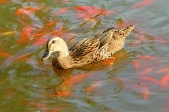 Mallard. A female mallard swims on water in park Stock Images