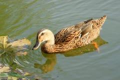 Mallard. A female mallard swims on water in park Royalty Free Stock Photo