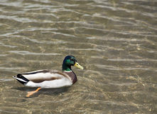 Mallard. Float peacefully on man-made canal, filled with clear water Royalty Free Stock Image