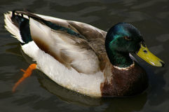 Mallard 123 Royalty Free Stock Photography