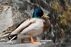 Mallard. S sit on the stone quay Royalty Free Stock Images