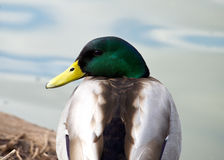 Mallard Stock Photos